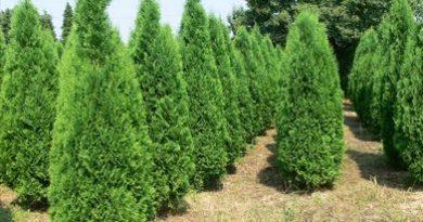 В питомнике растений в Могилевском районе (Подгорье) предлагаем Туя западная Колумна, хвойные, декоративные, плодовые саженцы растений.