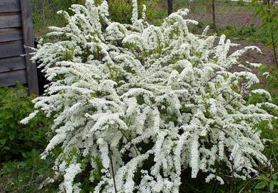 В питомнике растений в Подгорье предлагаем Спирея серая Грефшейм, хвойные, декоративные, плодовые саженцы растений