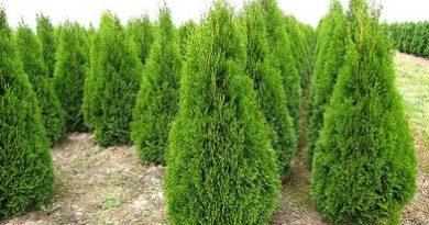 В питомнике растений в Могилевском районе (Подгорье) предлагаем Туя западная Смарагд, хвойные, декоративные, плодовые саженцы растений.