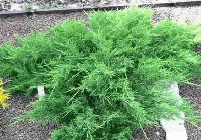 В питомнике растений в Могилевском районе (Подгорье) предлагаем Можжевельник Казацкий Blue Danube, хвойные, декоративные, плодовые саженцы растений.