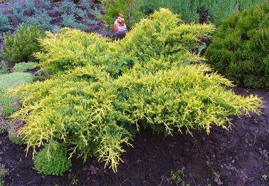 В питомнике растений в Могилевском районе (Подгорье) Можжевельник средний Gold Star, хвойные, декоративные, плодовые саженцы растений.