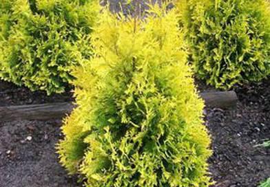 В питомнике растений в Могилевском районе (Подгорье) предлагаем Туя западная Санкист, хвойные, декоративные, плодовые саженцы растений.