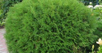 В питомнике растений в Могилевском районе (Подгорье) Туя западная Globosa, хвойные, декоративные, плодовые саженцы растений.