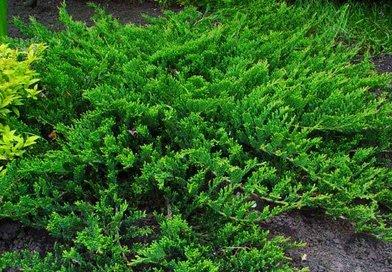 В питомнике растений в Подгорье предлагаем Можжевельник горизонтальный Принц Уэльский и другие хвойные растения