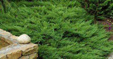 В питомнике растений в Подгорье предлагаем Можжевельник казацкий Тамарисцифолия и другие хвойные растения