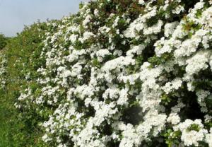 В питомнике растений в Могилевском районе (Подгорье) предлагаем Боярышник обыкновенный, хвойные, декоративные, плодовые саженцы растений.
