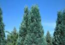 В питомнике растений в Могилевском районе (Подгорье) предлагаем Кипарисовик Лавсона Алюми, хвойные, декоративные, плодовые саженцы растений.