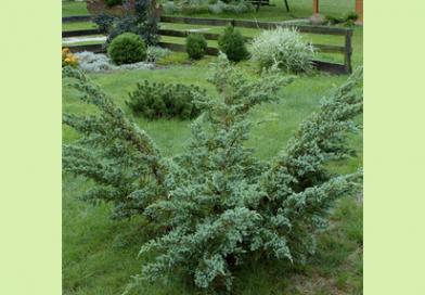 В питомнике растений в Подгорье предлагаем Можжевельник чешуйчатый Мейери и другие хвойные растения
