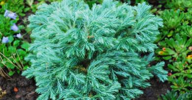 В питомнике растений в Подгорье предлагаем Кипарисовик горохоплодный Бульвар (Болевард) и другие хвойные растения
