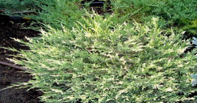В питомнике растений в Подгорье предлагаем Можжевельник горизонтальный Андорра Вариегата и другие хвойные растения