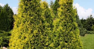 В питомнике растений в Подгорье предлагаем туя западная Европа Голд и другие хвойные растения