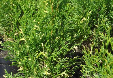 В питомнике растений в Подгорье предлагаем тую Смарагд вариегата и другие хвойные растения