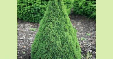 В питомнике растений в Подгорье предлагаем Ель канадская Коника и другие хвойные растения