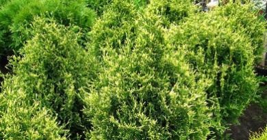 В питомнике растений в Подгорье предлагаем тую западную Столвик и другие хвойные растения