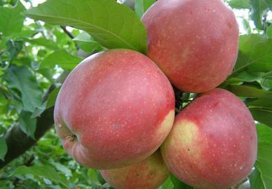 Саженцы яблони Лигол. Подгорье. Питомник растений в Могилеве.