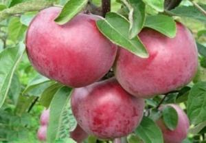 Саженцы яблони Дарунок. Подгорье. Питомник растений в Могилеве.