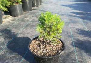 В питомнике растений в Подгорье предлагаем саженцы ели канадской и другие хвойные растения