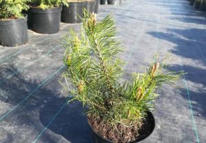 В питомнике растений в Подгорье предлагаем Сосну горную Гном и другие хвойные растения