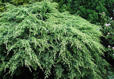 Подгорье. В питомнике растений в Могилеве предлагаем саженцы Можжевельника чешуйчатого Холгер