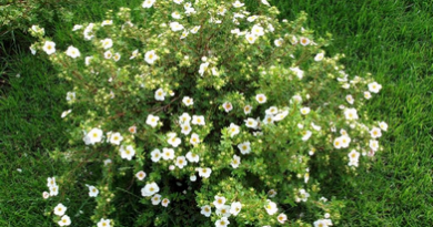 Подгорье. В питомнике растений в Могилеве предлагаем саженцы лапчатки белой.