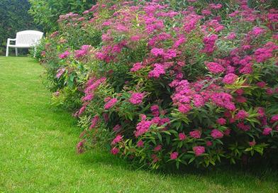 Подгорье. В питомнике растений в Могилеве предлагаем саженцы спиреи японской Антони Ватерер