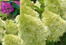 Подгорье.В питомнике растений в Могилеве предлагаем саженцы кустарников. Гортензия метельчатая CANDLELIGHT Hpopr013