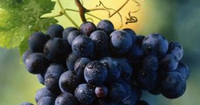 Подгорье. В питомнике растений (Могилевский район) предлагаем саженцы винограда Гриф