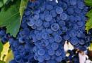 Питомник растений в Подгорье. Саженцы винограда в Могилеве. Виноград Виноград