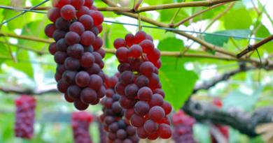 Подгорье. В питомнике растений (Могилевский район) предлагаем саженцы винограда. Свенсон Ред