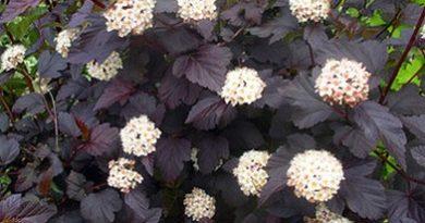 В питомнике растений в Могилевском районе (Подгорье) предлагаем Пузыреплодник калинолистный Red Baron, хвойные, декоративные, плодовые саженцы растений.