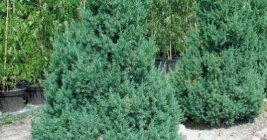 В питомнике растений в Могилевском районе (Подгорье) предлагаем Можжевельник китайский Стрикта, хвойные, декоративные, плодовые саженцы растений.