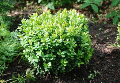 В питомнике растений в Могилевском районе (Подгорье)Самшит вечнозеленый, хвойные, декоративные, плодовые саженцы растений.