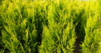 Подгорье.В питомнике растений в Могилеве предлагаем саженцы кипарисовика Лавсона Алюмиголд