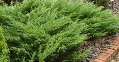 В питомнике растений в Могилевском районе (Подгорье) предлагаем Можжевельник казацкий, хвойные, декоративные, плодовые саженцы растений.
