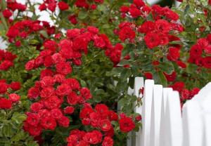 В питомнике растений в Подгорье предлагаем Роза плетистая красная, хвойные, декоративные, плодовые саженцы растений.