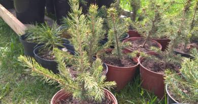 В питомнике растений в Подгорье предлагаем Ель голубая, хвойные, декоративные, плодовые саженцы растений.