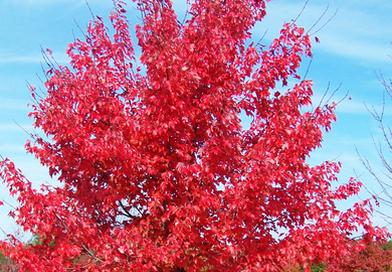 В питомнике растений в Подгорье предлагаем Клен Гиннала, хвойные, декоративные, плодовые саженцы растений.
