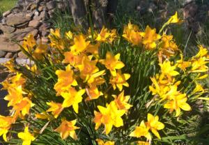 В питомнике растений в Подгорье предлагаем Лилейник Миддендорфа , хвойные, лиственные декоративные растения