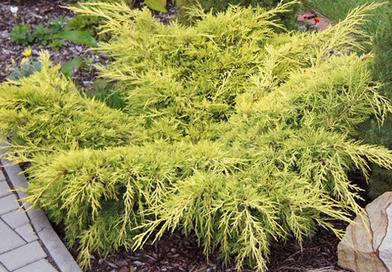 В питомнике растений в Подгорье предлагаем можжевельник средний Олд Голд и другие хвойные растения