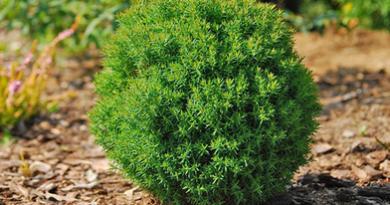 В питомнике растений в Подгорье предлагаем Туя западная Тэдди (шаровидная) и другие хвойные растения
