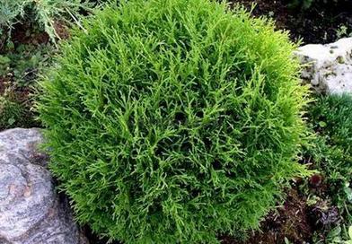 В питомнике растений в Подгорье предлагаем Туя Хосери (шаровидная) и другие хвойные растения