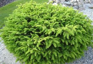 В питомнике растений в Подгорье предлагаем Ель обыкновенную Нидиформис , хвойные, лиственные декоративные растения