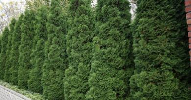 В питомнике растений в Подгорье купить тую западную Холмструп и другие хвойные растения