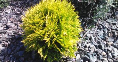Подгорье. В питомнике растений купить тую западную Мириам и другие хвойные растения