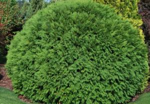 В питомнике растений в Подгорье предлагаем тую западную Вудварди и другие хвойные растения