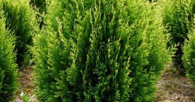 В питомнике растений в Подгорье предлагаем тую западную Корник и другие хвойные растения