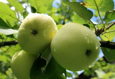 Саженцы яблони Белый налив. Подгорье. Питомник растений в Могилеве.