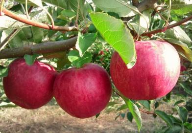 Саженцы яблони Слава победителям. Подгорье. Питомник растений в Могилеве.