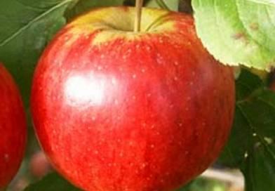 Саженцы яблони Рубинола. Подгорье. Питомник растений в Могилеве.