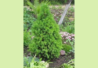 В питомнике растений в Подгорье предлагаем ель канадскую Лилипут и другие хвойные растения